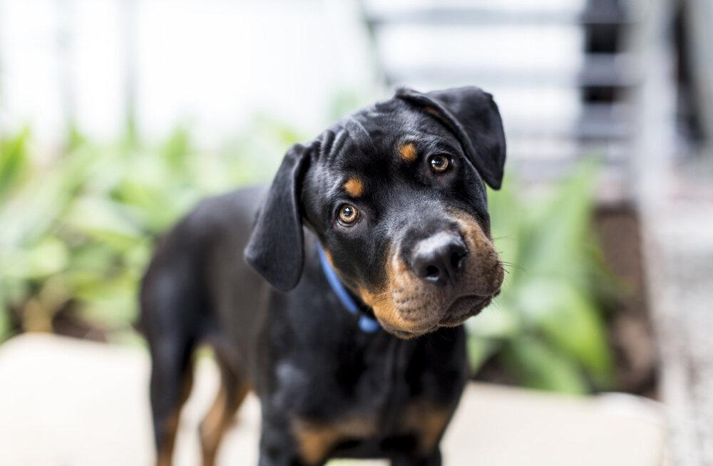 Kas läheb täppi: mida räägib sinu koera tähemärk tema iseloomu kohta?