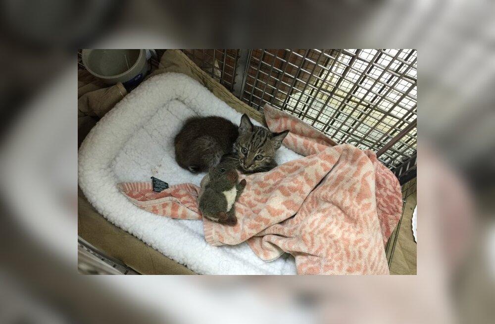 FOTOD: Hulkuv kass, kes kiirteelt päästeti ei olnudki tavaline kodukass!
