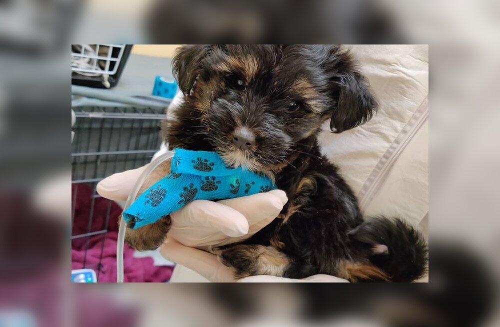 Kutsikavabrikust kuulutuse peale ostetud koer osutus eluohtlikult haigeks