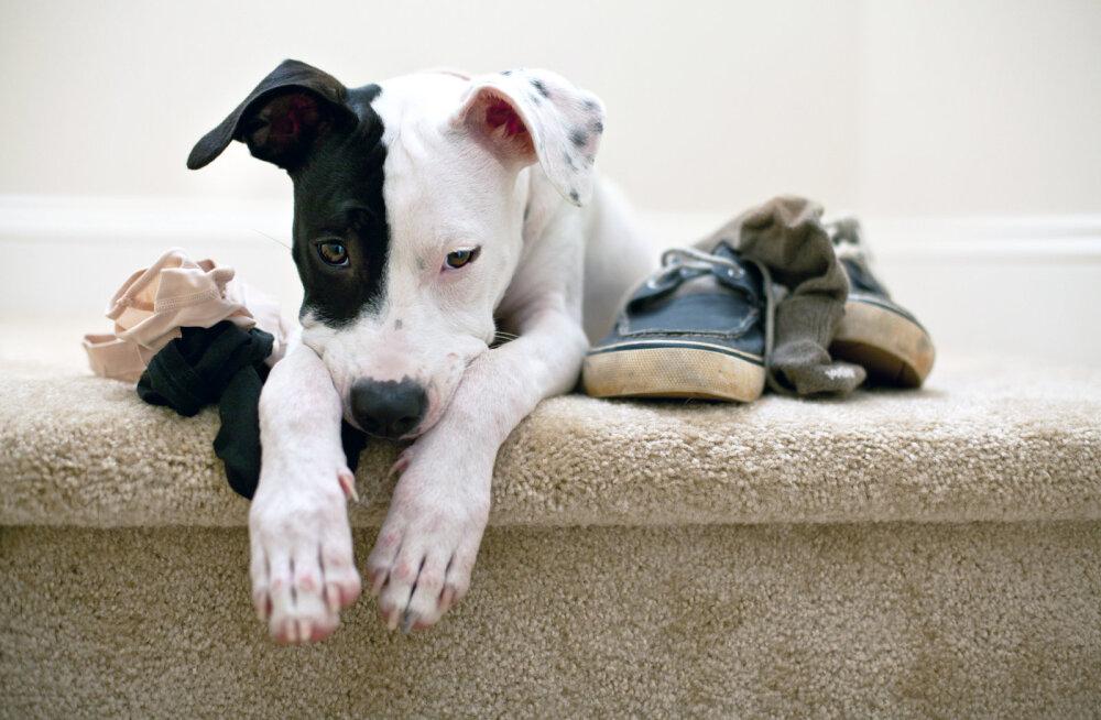 UURING | Selgub, et koerad on võimelised tuvastama malaariat üksnes musti sokke nuusutades