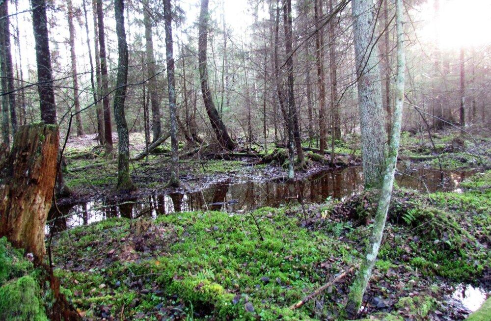 Leili metsalood | Kui metsa all soliseb vesi