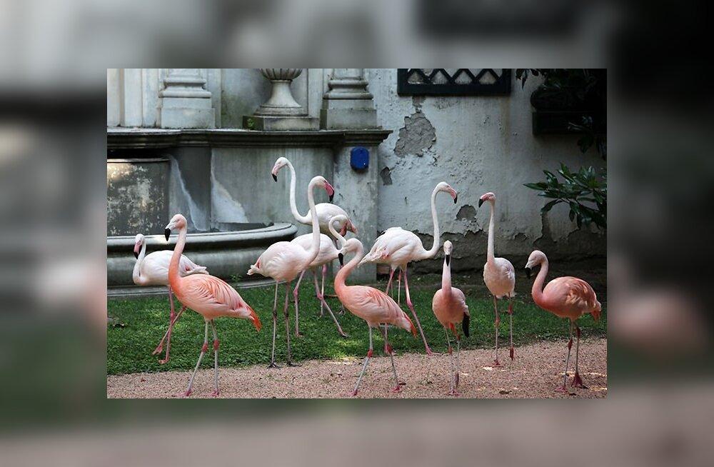 ФОТО читателя Delfi: Розовые фламинго в центре мегаполиса