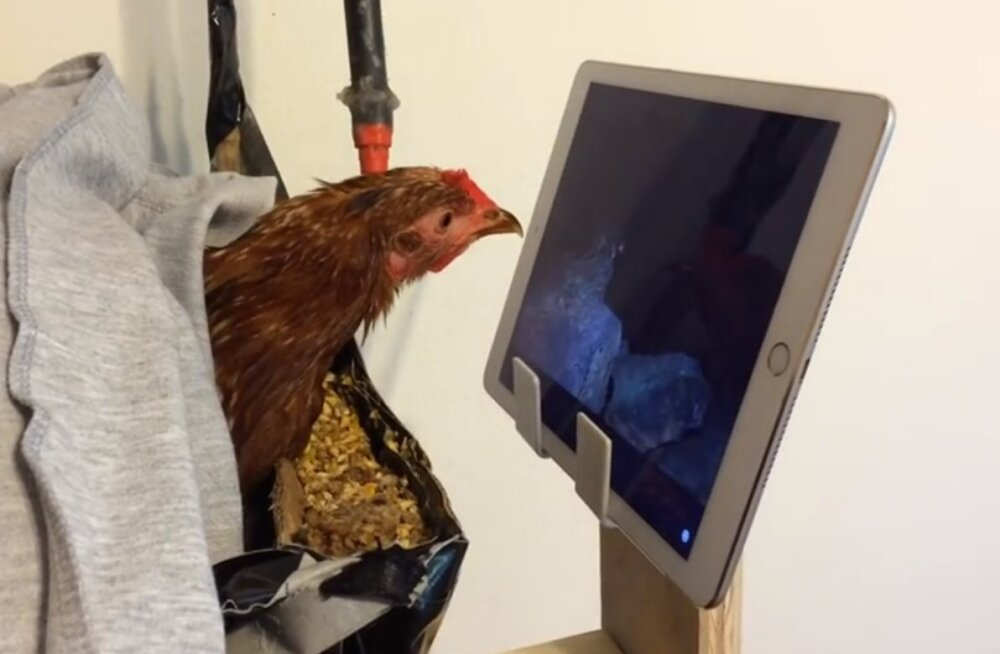 Eriline suleline: loodushuviline kana on teaduskanali National Geographic suur fänn