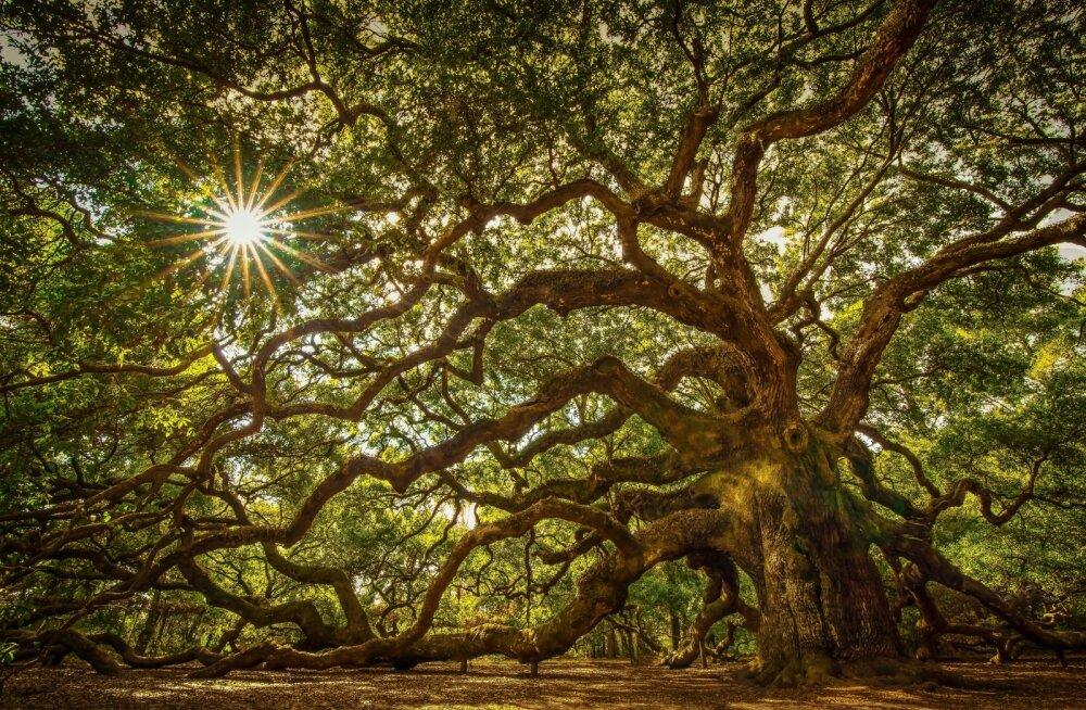 Tamm - maagiline puu, mis kaitseb kurjade jõudude eest, toob viljakust ja pikaealisust