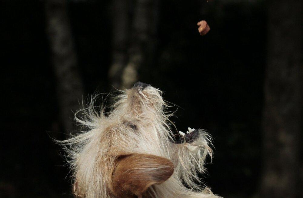 4 lihtsat sammu ja koer õpib, et iga maas olevat prügi ei tohi suhu pista