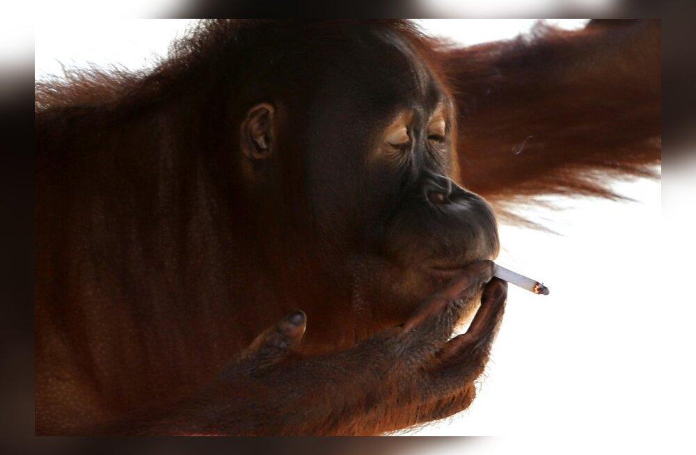 Indoneesia loomaaia suitsetav orangutan viidi väiksele saarele võõrutusravile