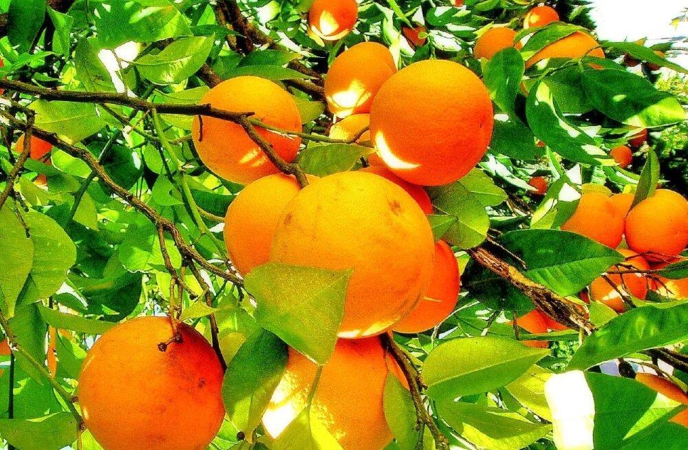 Apelsinikasvatustel on suured kasumid, aga halvad töötingimused
