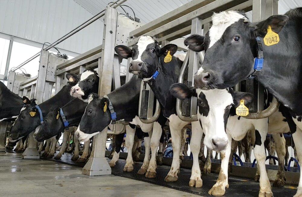 VIDEO | Tänapäeva targad lehmad käivad lüpsil hella juhtimise abil