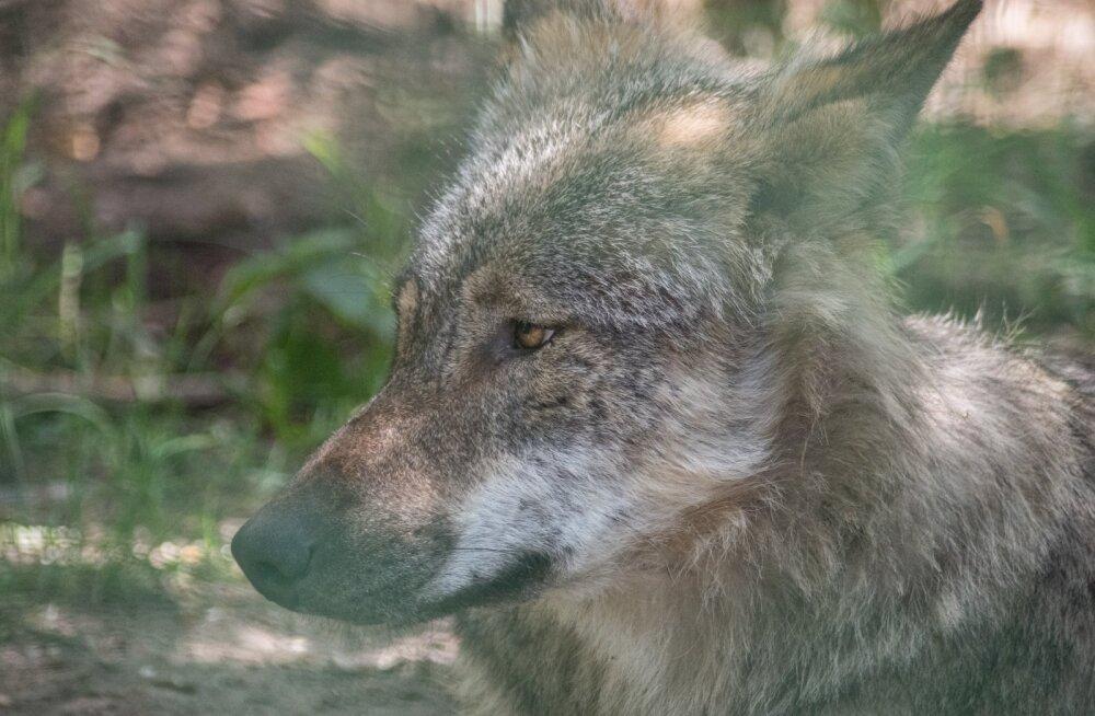 Keskkonnaagentuur: ründaja võis hundi asemel olla metsistunud koer või huntkoer