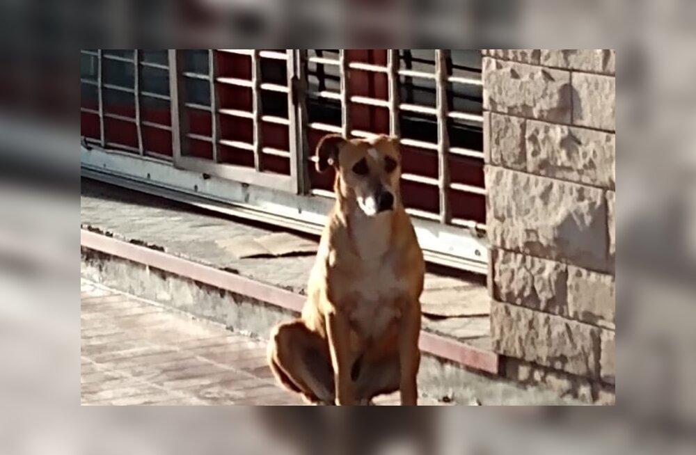 Südantlõhestav lugu: truu koer ootab surnud perenaist iga päev raamatupoe ees
