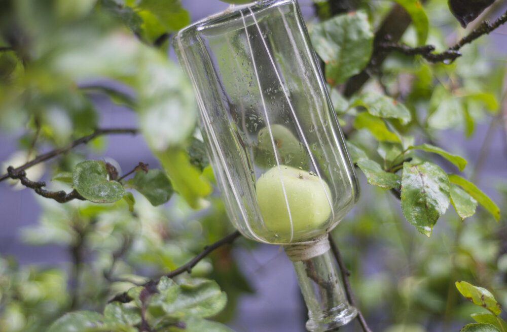 FOTO | Kuidas pirn puu otsas kalvadosipudelisse kasvab?