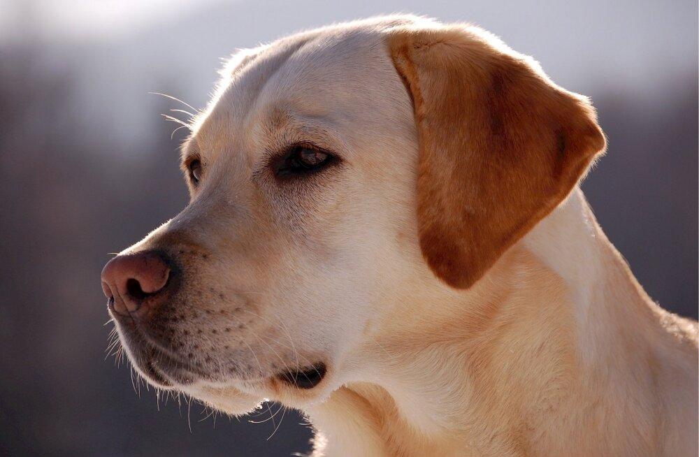 Rihmast lahti pääsenud labrador ründas Pirital inimest: mupo otsib koera omanikke