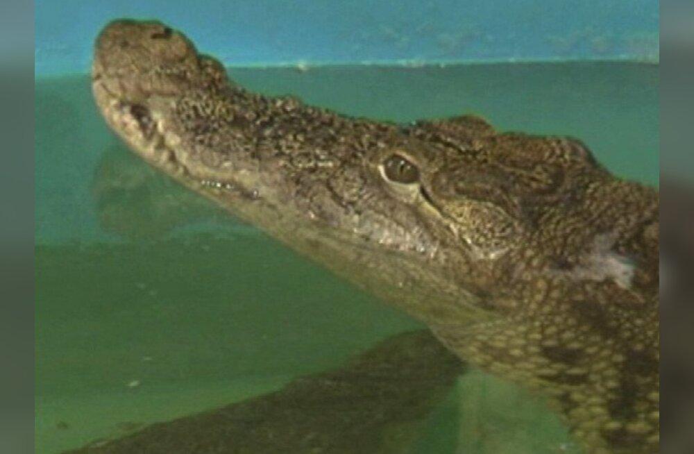 Mida teha, kui krokodill mobiiltelefoni alla neelab?