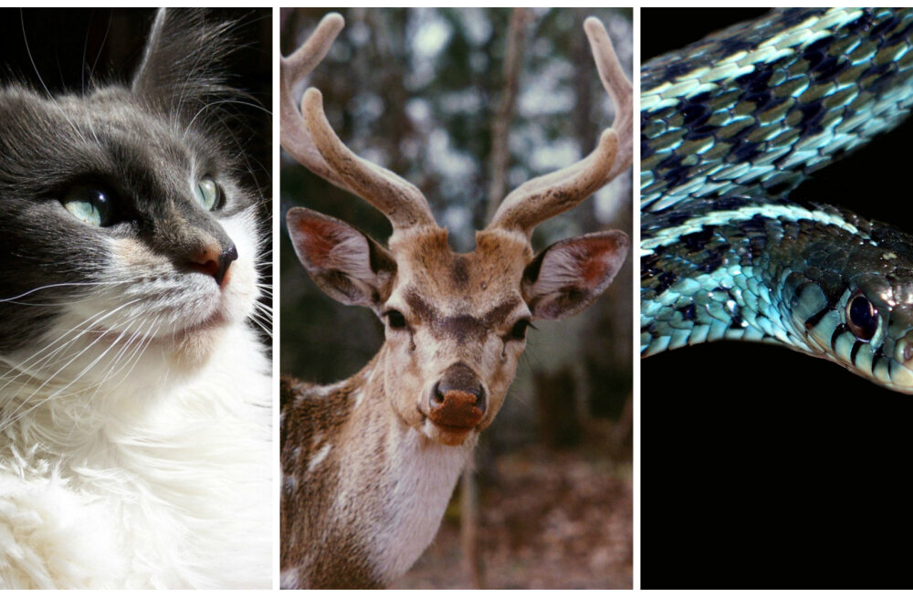 Keltide horoskoop: oled sa kass, hirv või hoopiski madu? Mida see loom su iseloomu kohta näitab?