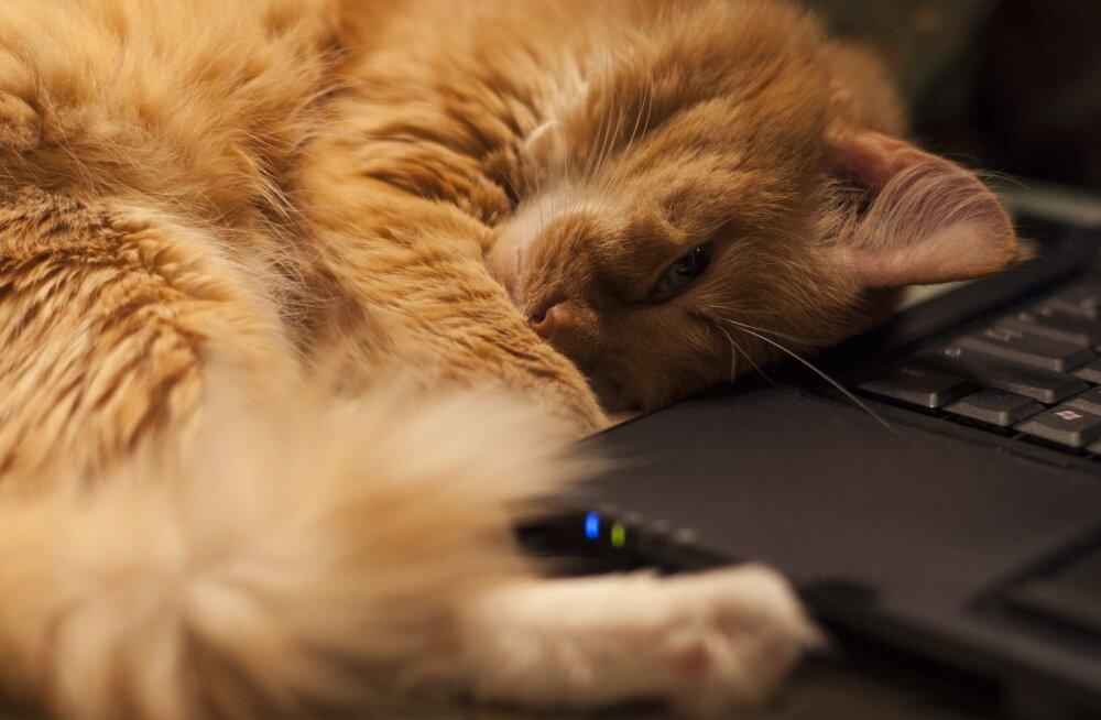 Miks armastavad kassid nii väga just sülearvuti peal magada?