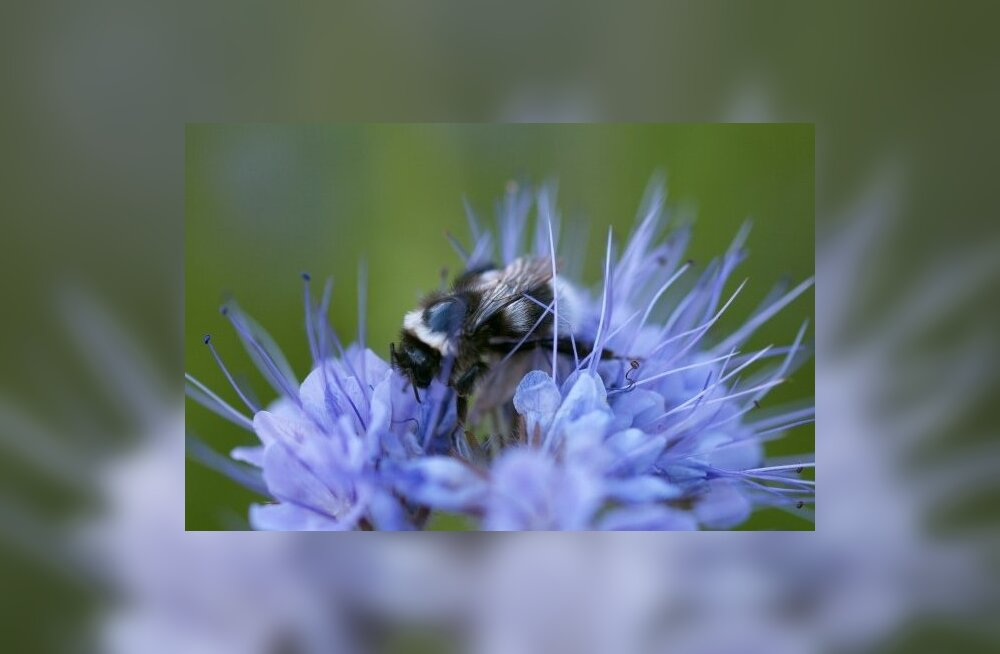 mesilane, lill