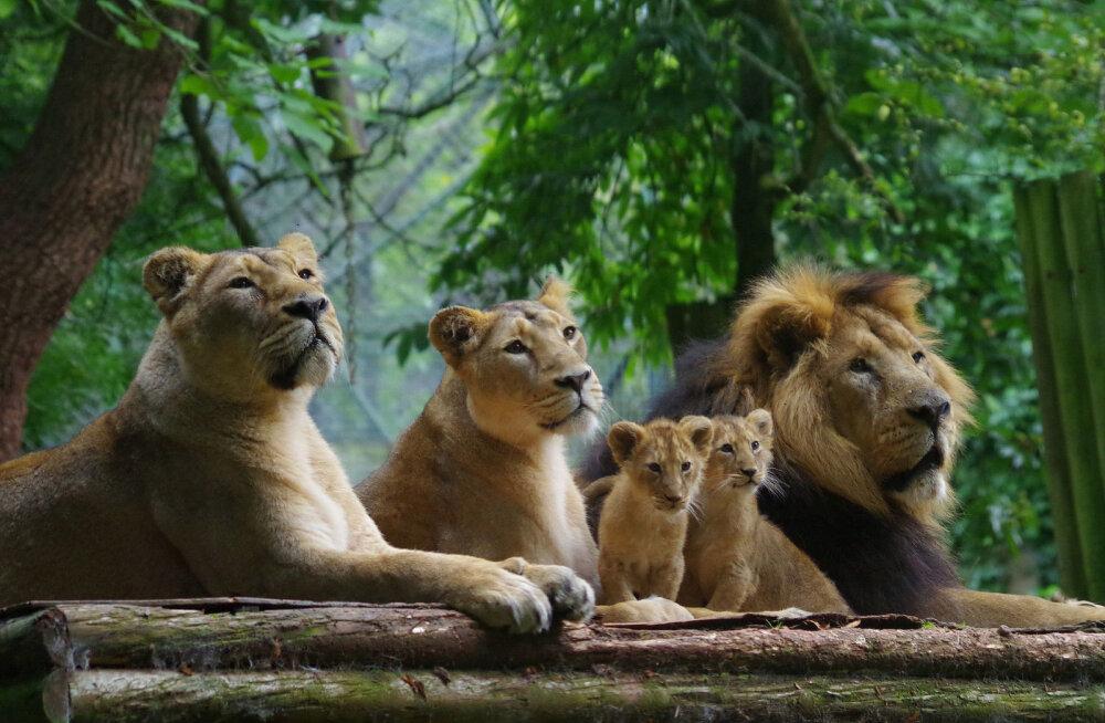 """SEADUSLIK MÕRV ROOTSI MOODI: Loomaaiatöötajad tapsid tervisest pakatavad lõvipojad kui """"üleliigsed jäänukid"""""""