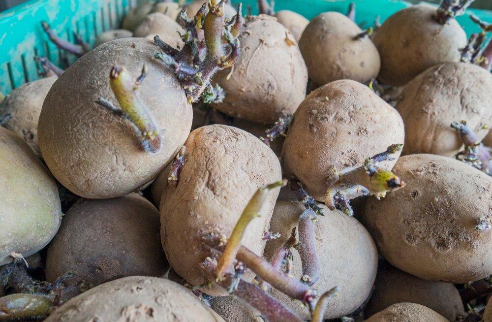 Soomlane pani varajase kartuli juba maha