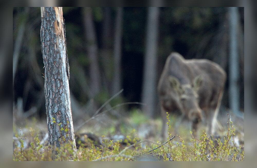 Ulukeid aitab tõrjuda jaht, kahjureid peletab metsa õigeaegne hooldamine