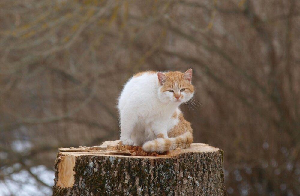 Kass kännul