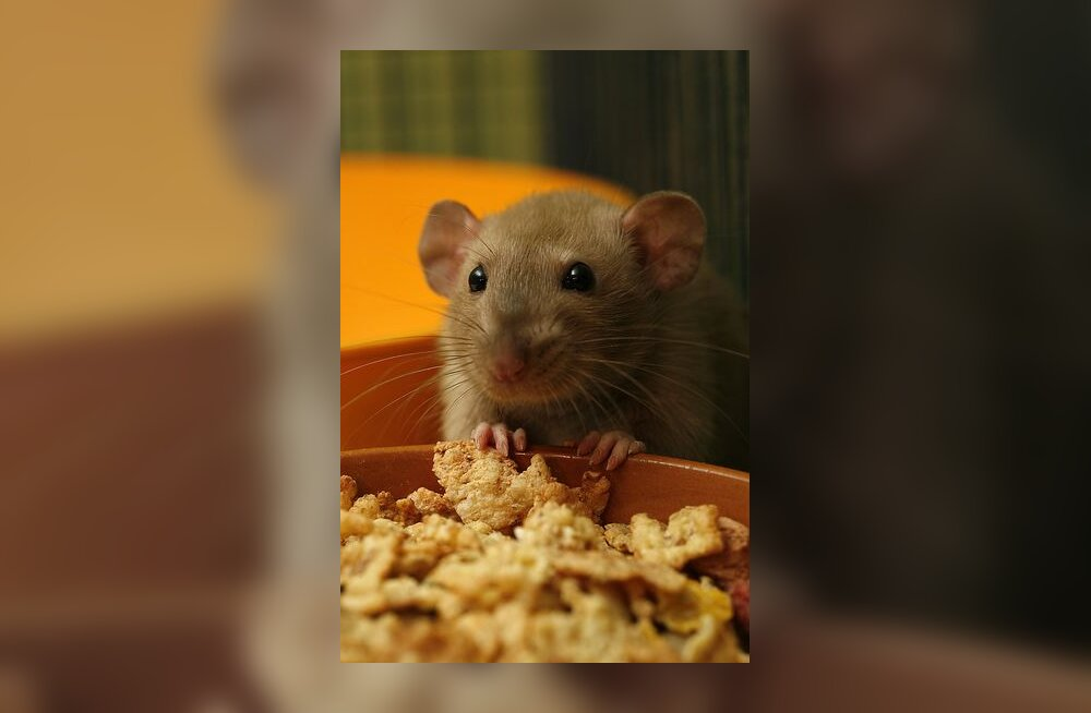 rott, rotiaasta