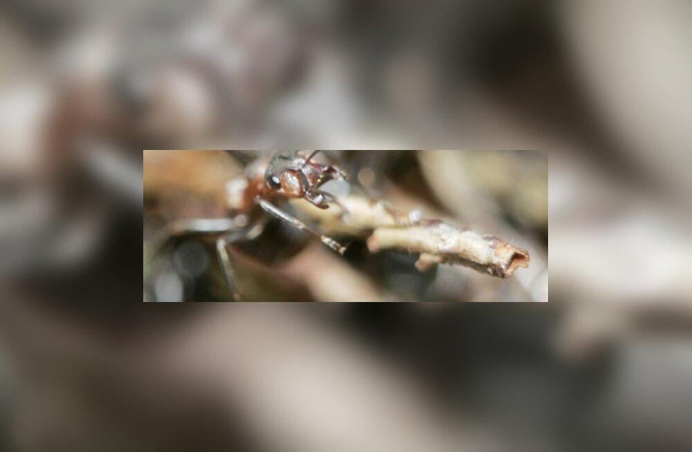 Sipelgate tõrjest aias
