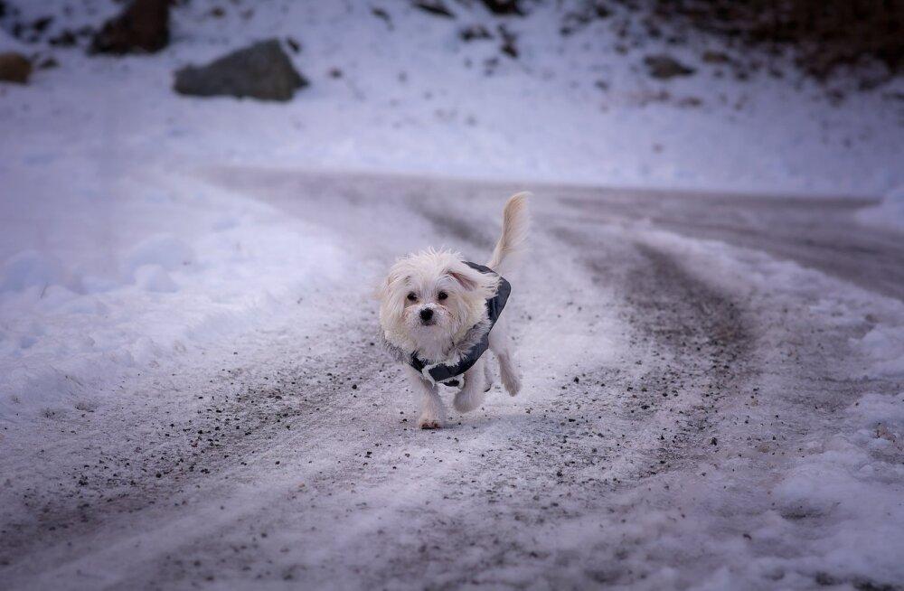Tallinna koeraomanikul varastati lemmik peaaegu et käest