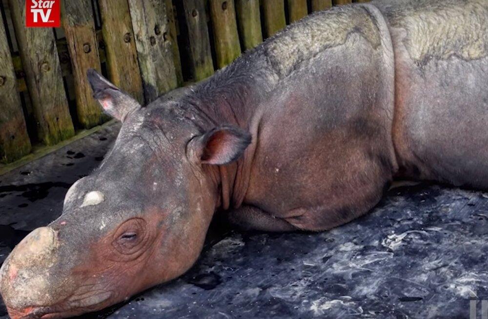 Malaisia viimane isane Sumatra ninasarvik on surnud