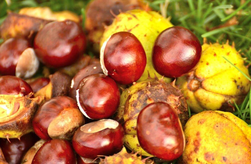 Sügisene maagia: kolm head põhjust, miks kastanimune korjata