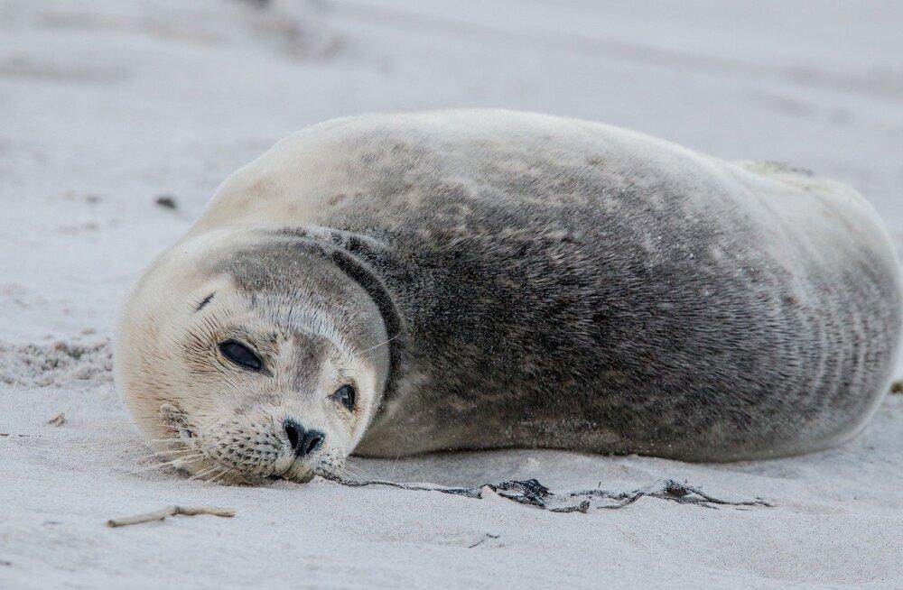 Meri uhub Pärnu randadesse surnud hülgeid: hukkunud loomast tuleb teada anda