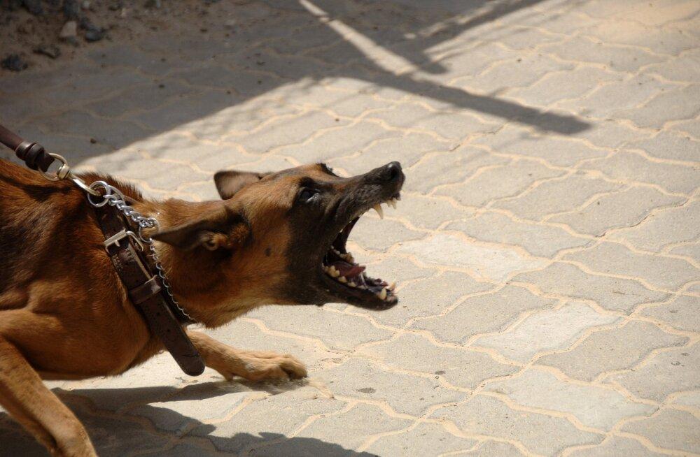 Jalutusrihmast tingitud agressioon: mida teha, kui koer kipub rihma otsas haukuma ja urisema?