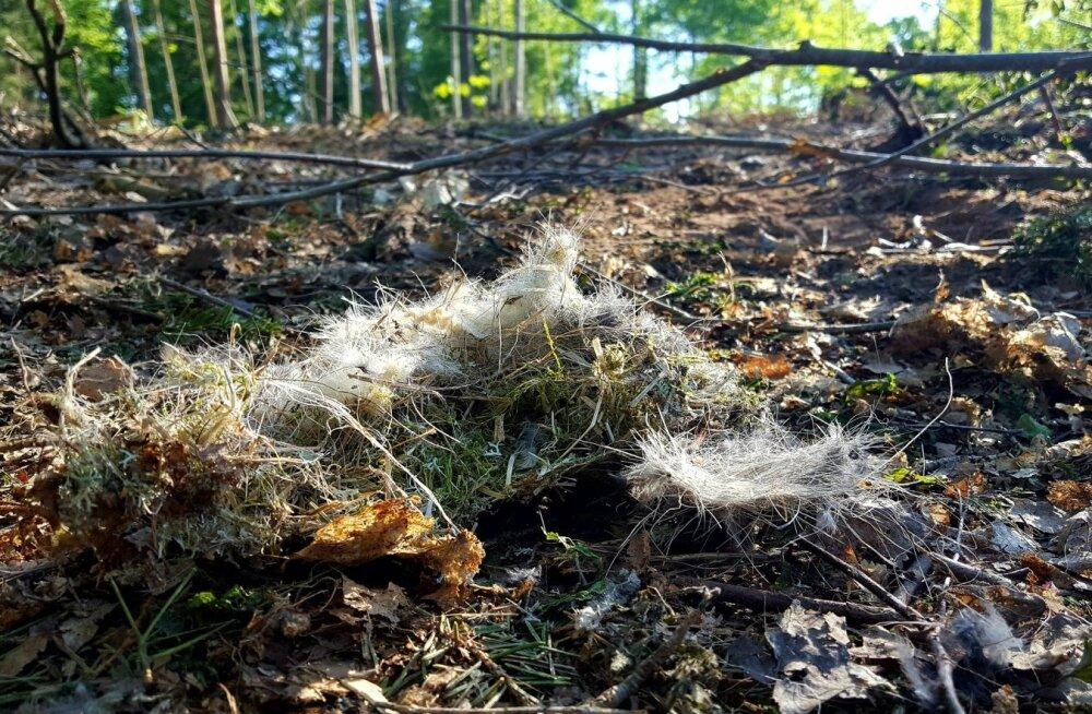 Pärast raiet jäid Elvas Peedul maha niisugused pesajäänused. Ornitoloogid on veendunud, et pesitsusaegne raie tuleks keelata.