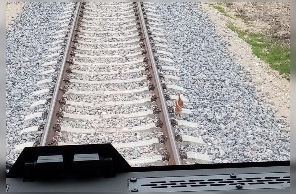 ФОТО: Машинист Elron спас журавлят от верной гибели