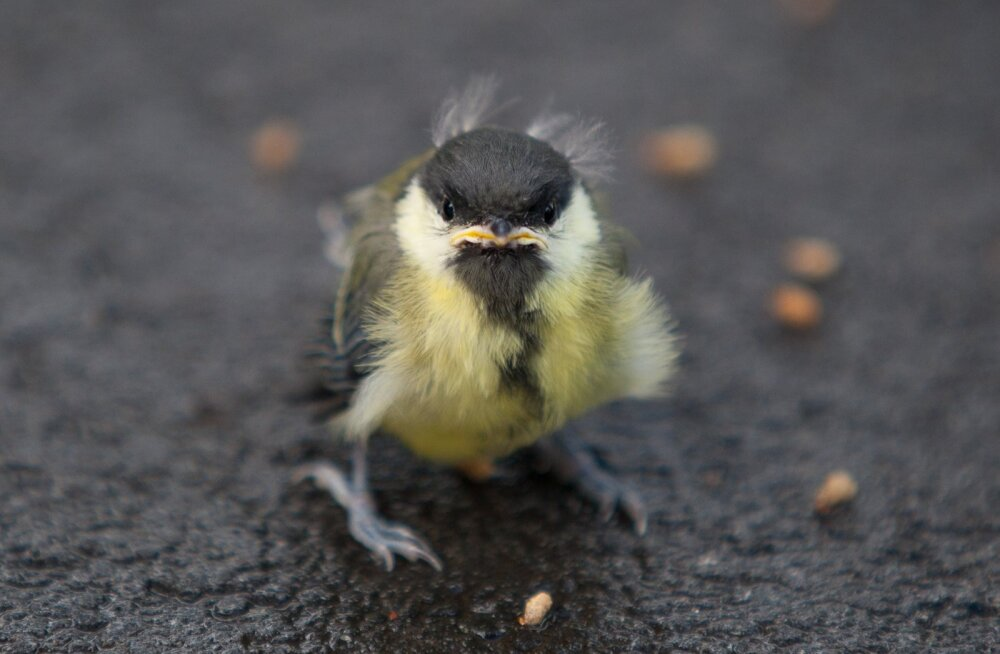 Linnupoegade toitmine