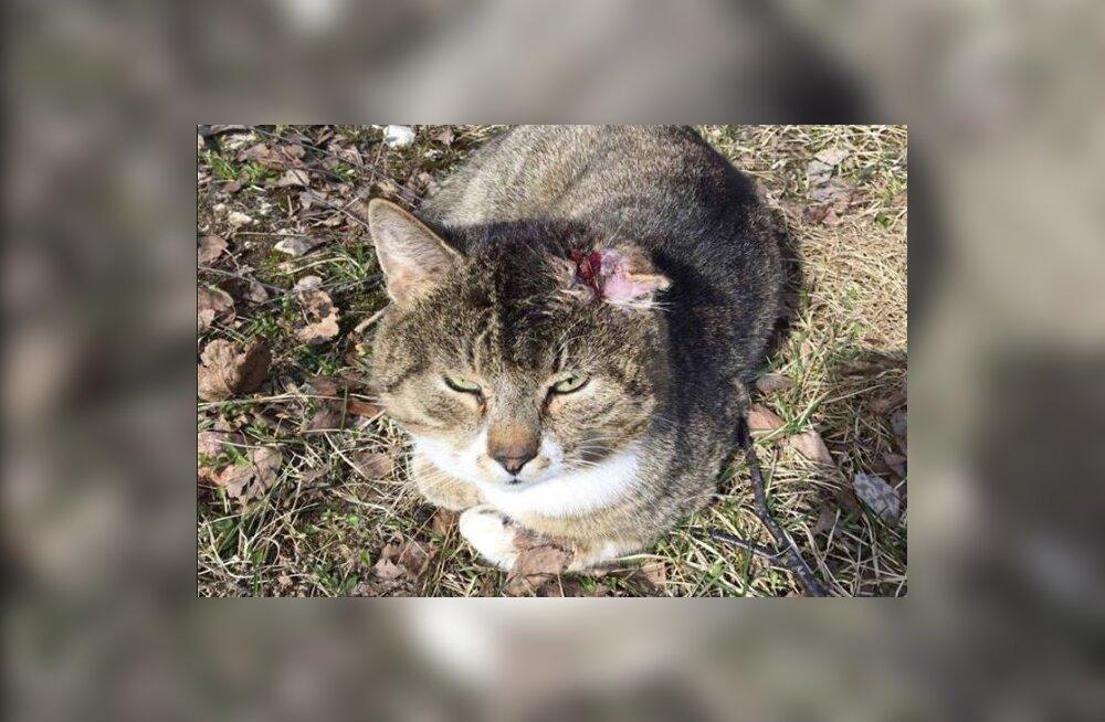 Abitus seisundis leitud küljest rebitud kõrvaga kass vajab kohest arstiabi