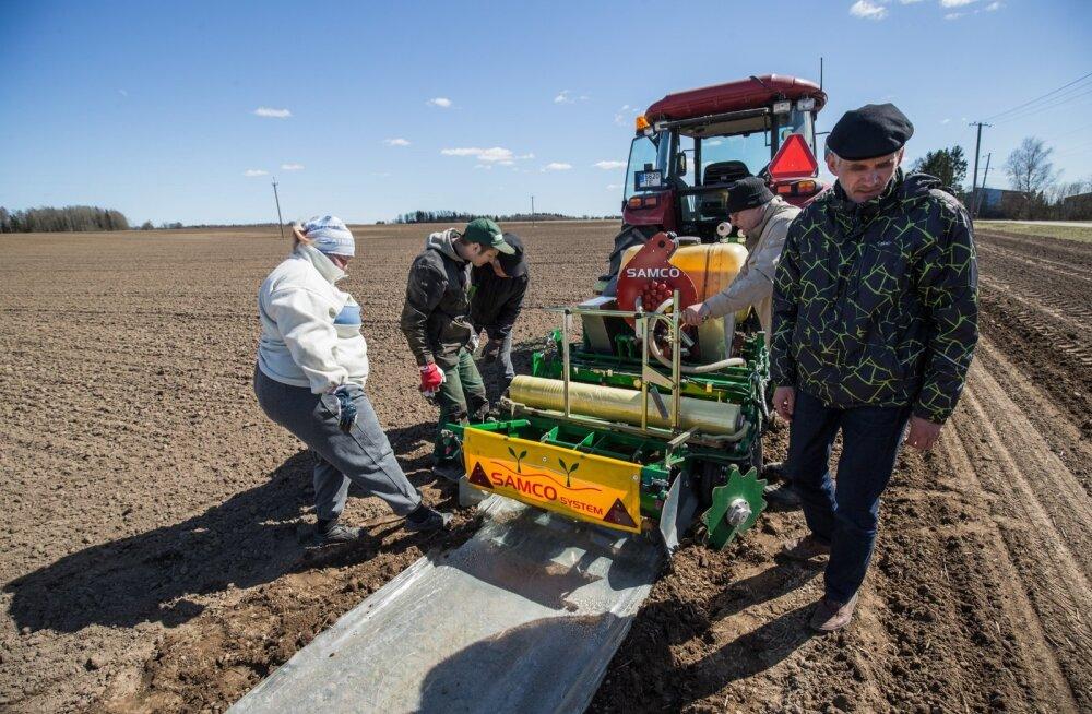 ETKI direktor Mati Koppel ja teadur Lea Narits jälgivad uudse biolaguneva kile kasutamist sojaoa külvil.