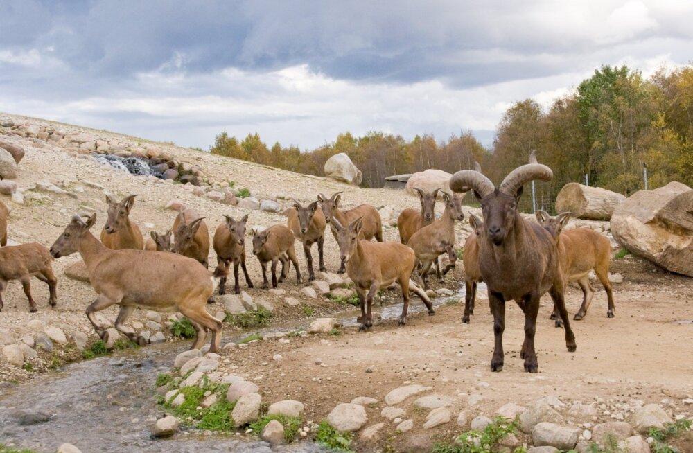 Tallinna loomaaiast pärit dagestani tuurid alustasid nädalapikkust teekonda Gruusiasse