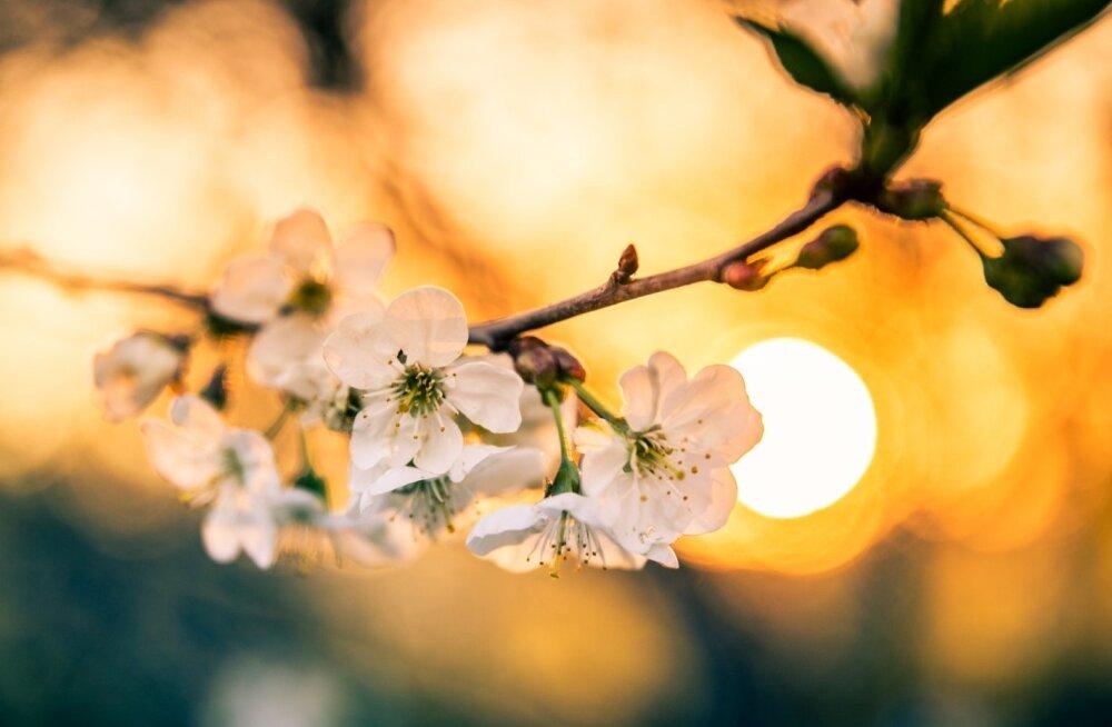 Kirsiõied