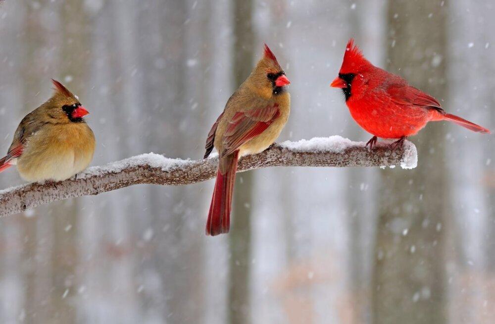 Emane või isane? Pennsylvanias märgati eriskummalise välimusega lindu