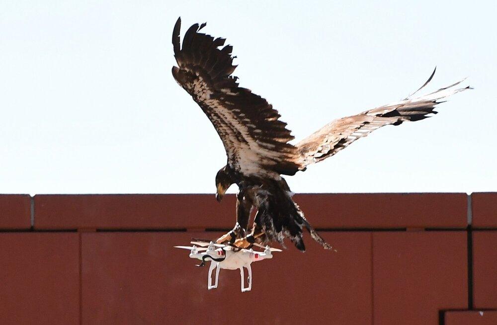 FOTOD   Droone napsavad kotkad näevad lahedad välja, aga Hollandi politsei saatis nad siiski pensionile