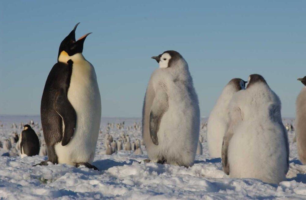 Mida need pingviinid teevad? Sirvi fotosid ja aita nii teadlasi kui ka pingviine!