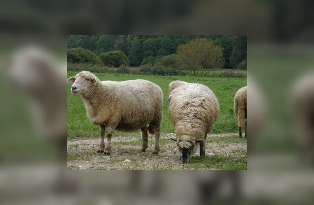 Salme kalmest leiti ka lammaste luid