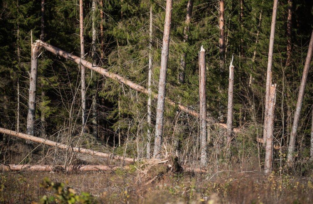 """""""Такого не было никогда"""". На юге Эстонии только в гослесах """"избирательный"""" шторм повалил 100 000 кубометров"""
