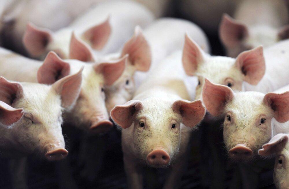 Teadlased siirdasid sigadele edukalt katseklaasis kasvatatud kopsud