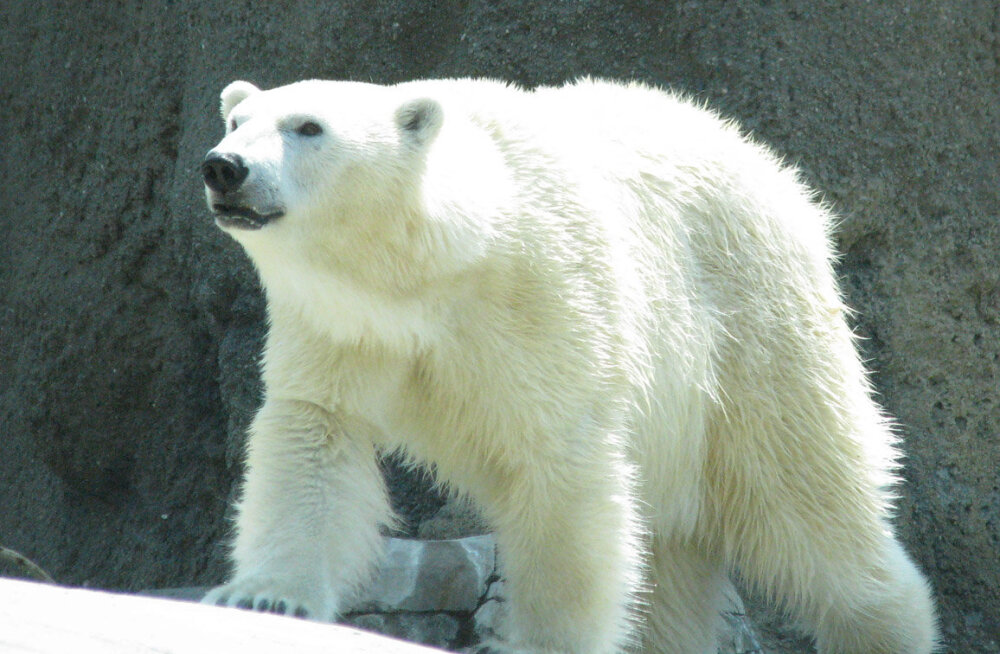 На Шпицбергене белый медведь захватил гостиницу