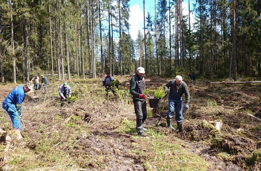 Jahimehed on ikka hoolitsenud ka selle eest, et metsal järelkasvu oleks. Pildil  istutab 16. mail RMK raiesmikule metsa Kooraste jahiseltsi rahvas.