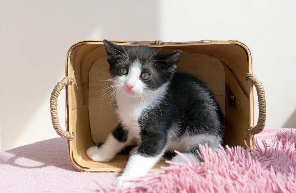 Uus kass, uus kodu: nipid, kuidas aidata lemmikul uue keskkonnaga kohaneda
