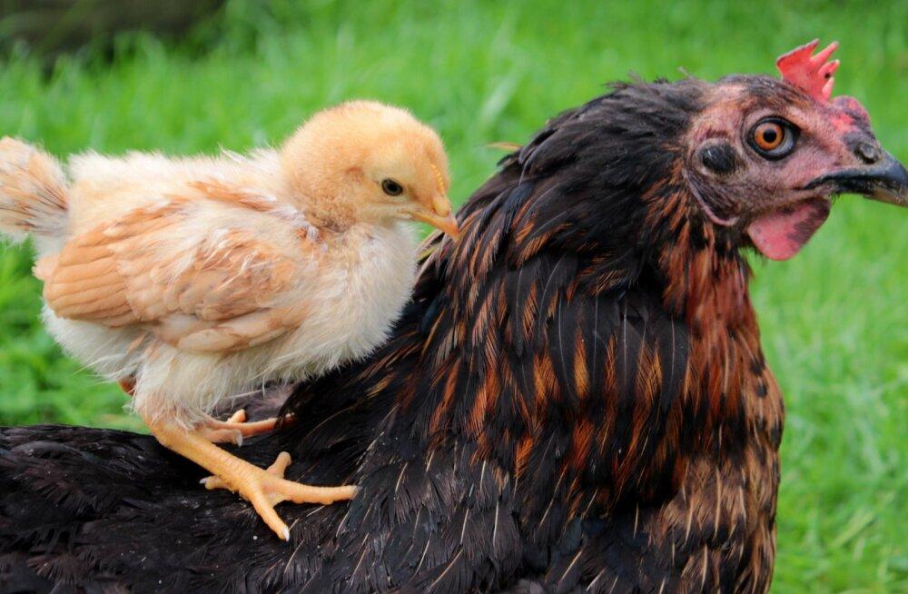 Head emadepäeva ka kanadele! 5 lõbusat fakti kanaemadest