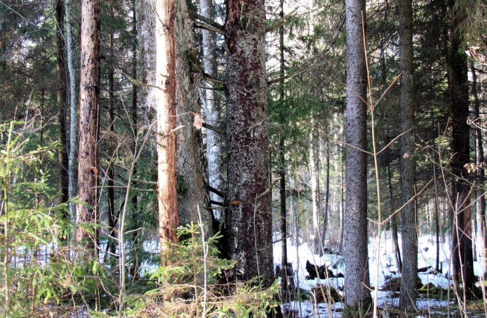 Leili metsalood | Soe suvi soodustas üraskite levikut