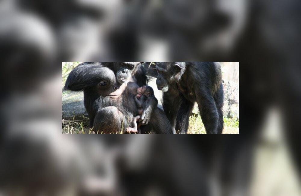 Kartlikud ahvid püüavad vastasele pugeda